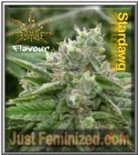 Buy Stardawg Flavour Chasers Seeds in the USA and Canada